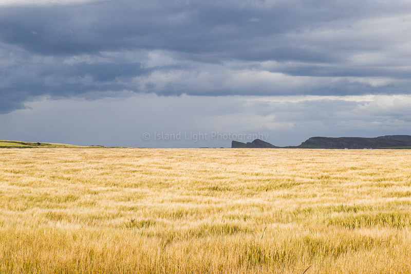 barley-fields-islay