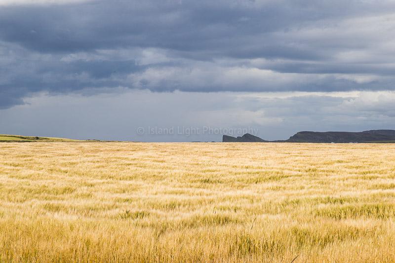 barley-fields-islay