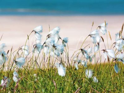 Cottongrass Isle of Islay