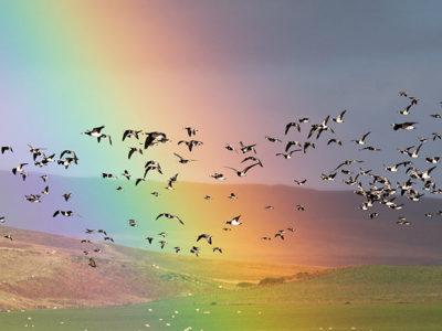 Barnacle Geese on Islay