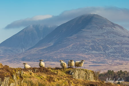 Sheep in front of Paps Islay