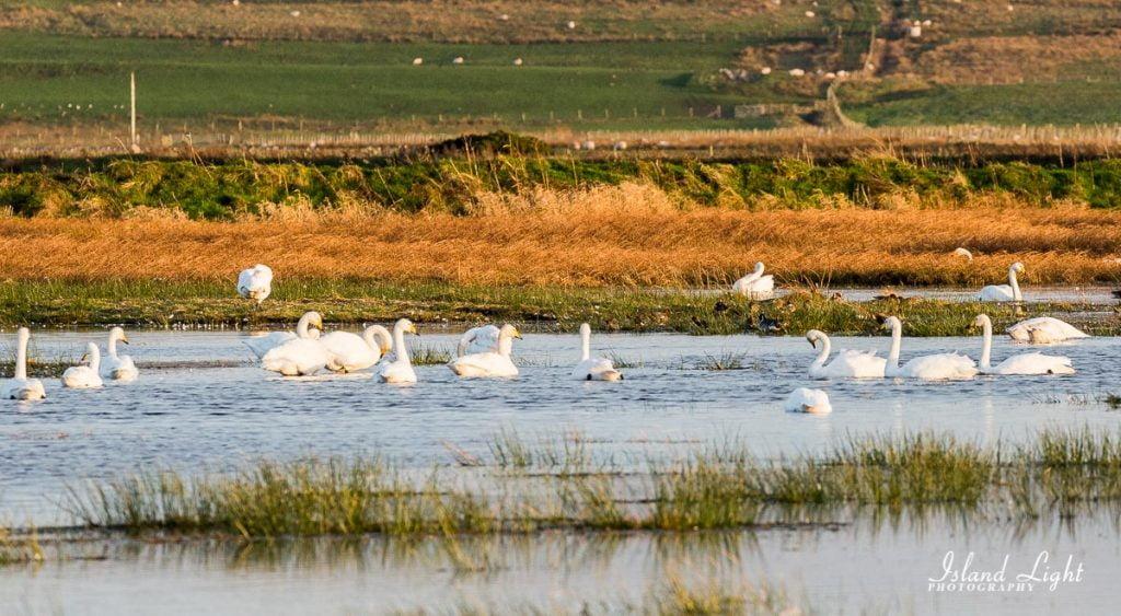 Whooper Swans Islay