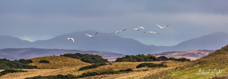Whooper Swans on Islay