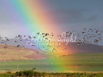 Rainbow and Barnacle Geese