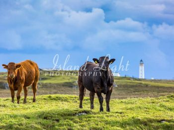 Cattle Portnahaven