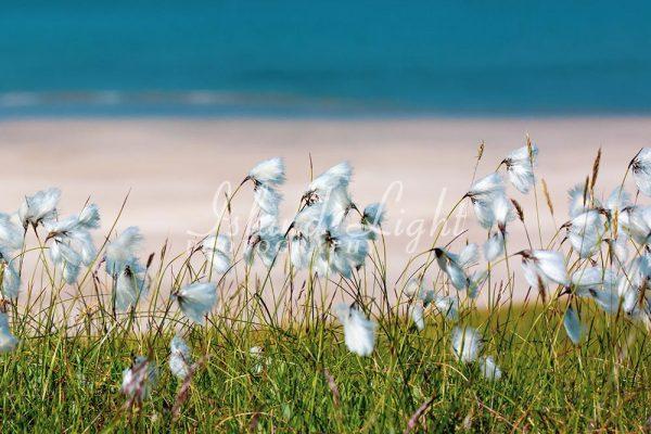 Cotton Grass near Beach
