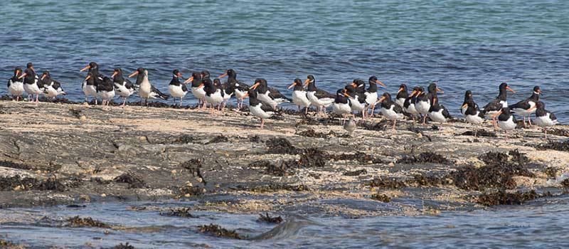 Oystercatchers at Ardnave Beach
