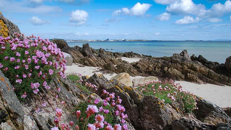 Sea Pinks in May at Kilnaughton Beach Islay